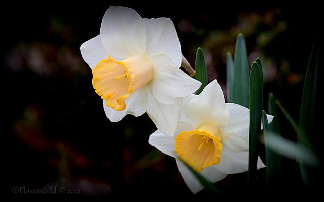 White & Yellow Daffodils