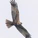 Falco di palude maschio portrait