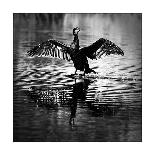 Cormoran se séchant les ailes Cormorant drying its wings