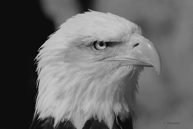 Aguila calva IMG_4752bn