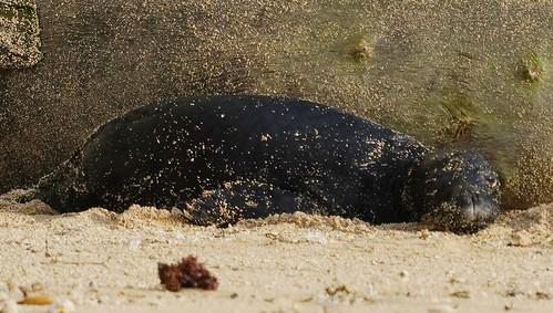 Monk Seal Kaiwi with new pup Kaimana Beach v2