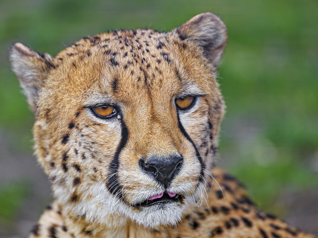 Cheetah showing a bit of tongue