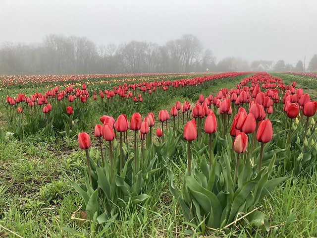 Field Trip in April:  Tip Top Tulips!