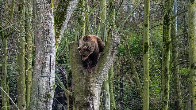 9681 - Bear