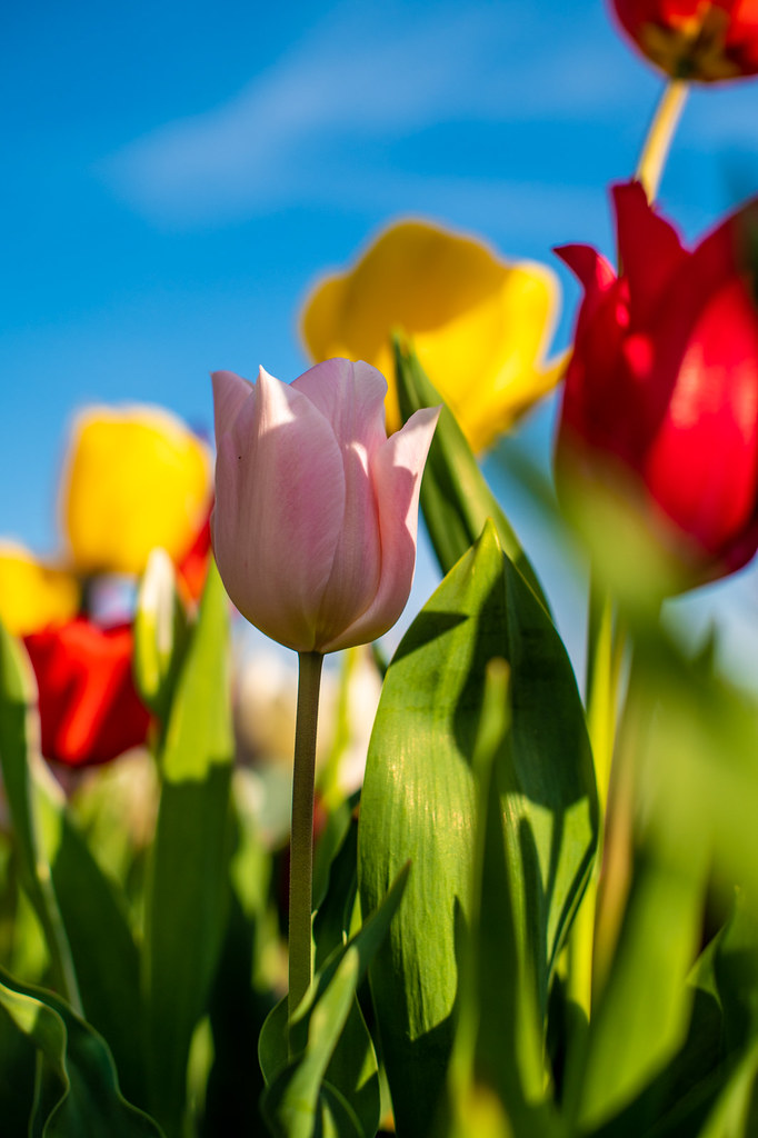 Colors and tulips