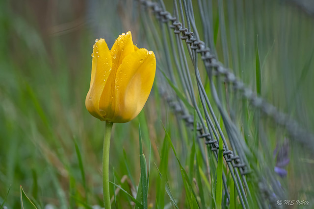 Backyard tulip tales...don't fence me in.