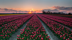Red Tulips ..