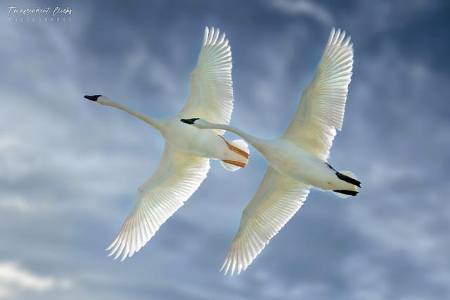 A Rare Pair - Trumpeter Swans (Explored)