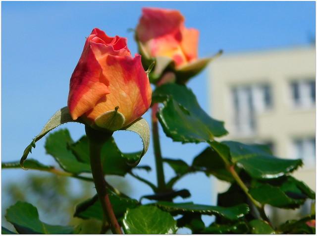 Róża pod moim oknem.