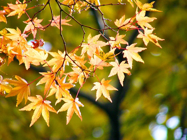 Golden Leaves in Bokeh
