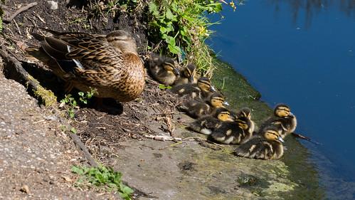 Dozing ducklings, Aldersley