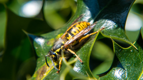 German wasp resting on holly leaf