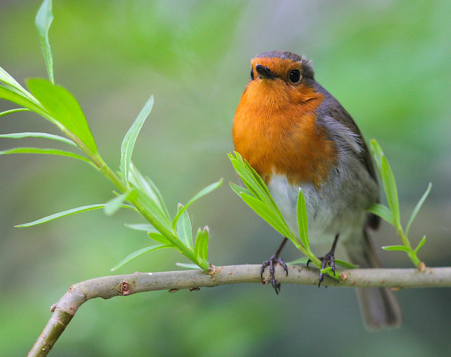 Beautiful Robin (soft spring light)
