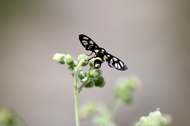 Handmaiden Moth  ।  Syntomoides imaon  ।