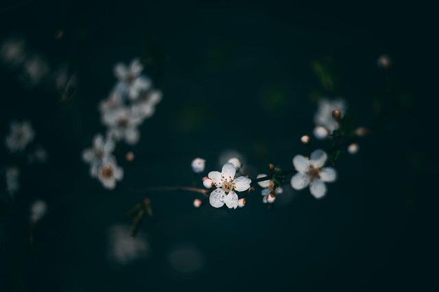 Japanese Plum Blossom in the Evening