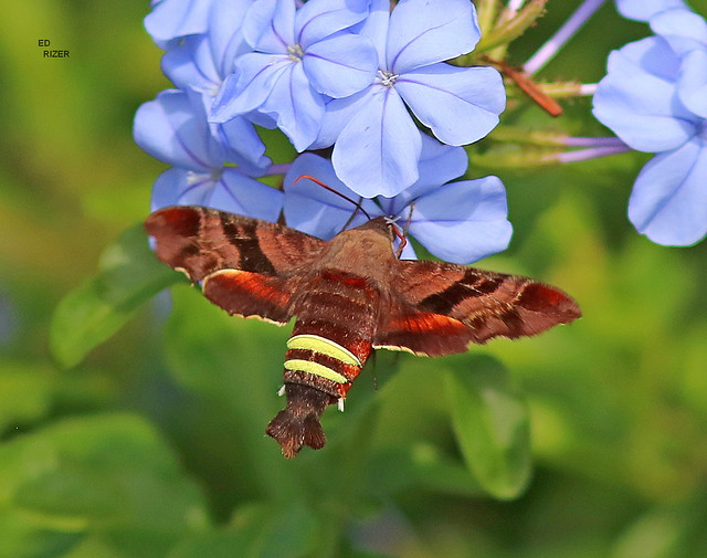 NESSUS SPHINX MOTH (Amphion floridensis) Only the second time I've encountered this Hawk Moth species. This one is feeding on Plumbago nectar. The Beauty Of God's Creation in Haines City Florida USA 4/29/21