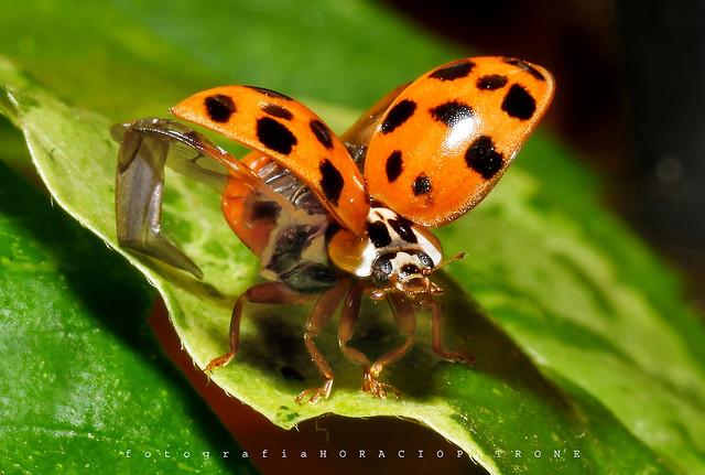 - MARIQUITA  Asiática multicolor (Harmonia axyridis) toma en BOTANICO THAYS . BUENOS AIRES