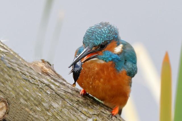 Common or Eurasian Kingfisher (Alcedo atthis) ♂