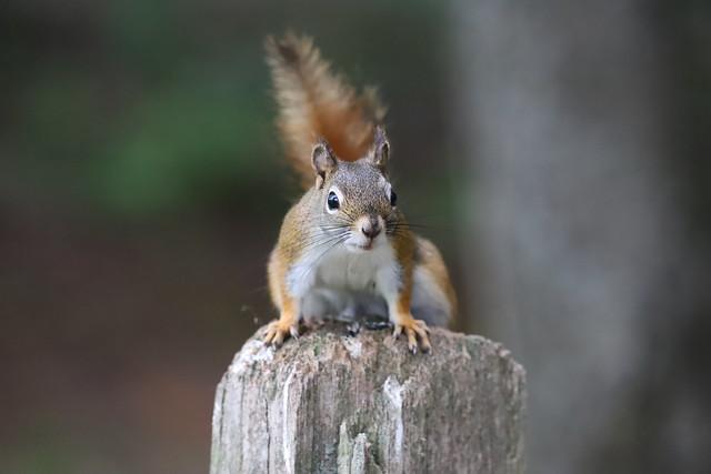 Backyard Red & Fox Squirrels (Ypsilanti, Michigan) - 118/2021 321/P365Year13 4704/P365all-time (April 28, 2021)