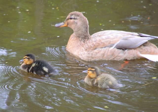 New duck family