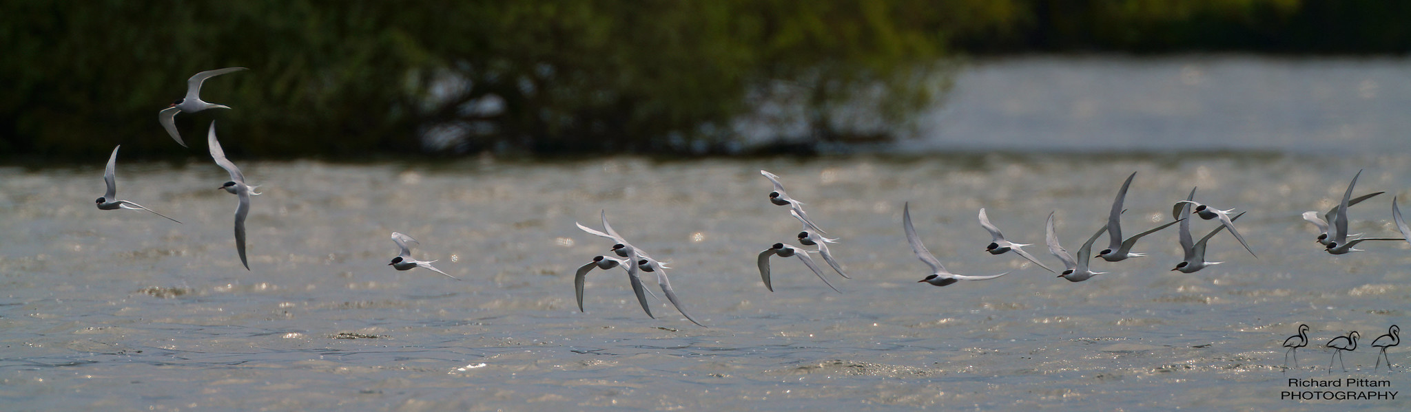 Arctic and Common Terns
