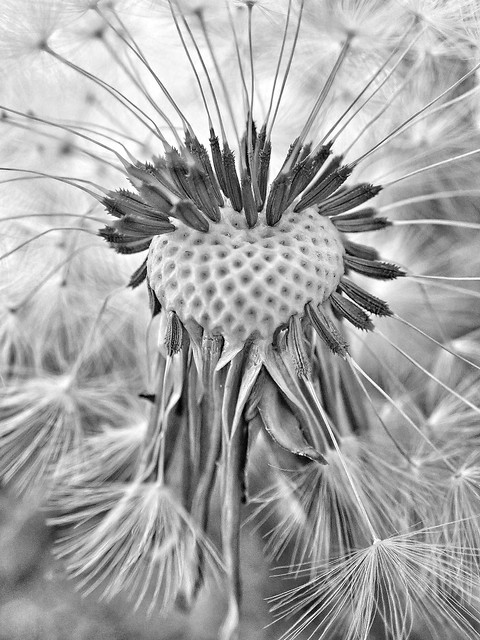 29/30 Dandelion