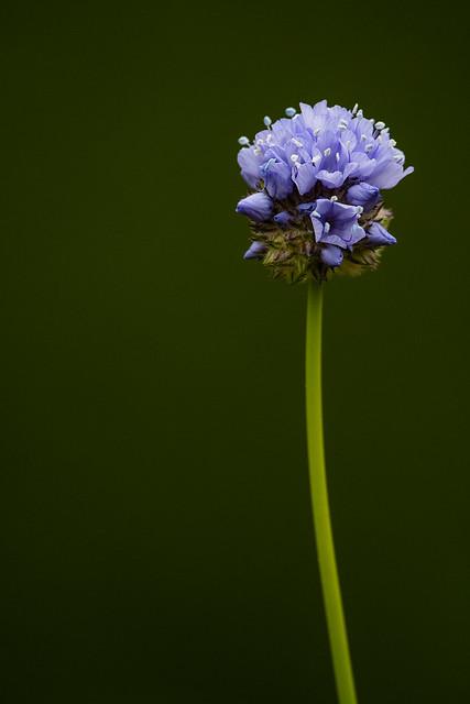Globe Gilia (Gilia capitata ssp. staminea)