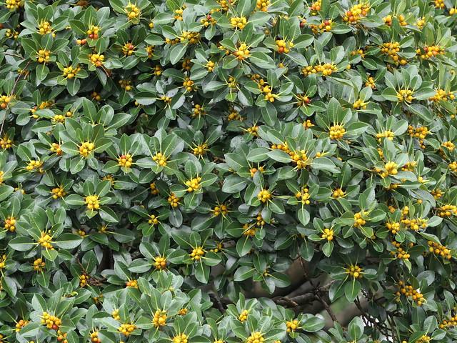 Ficus obliqua ?