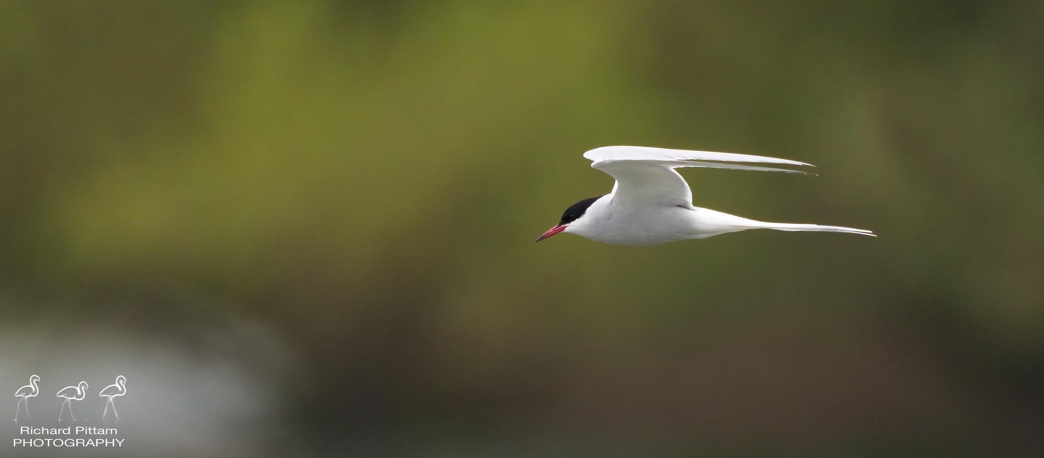 Arctic Tern [ I'm sure I'll get a few Commons mixed up...]