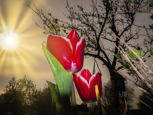 Tulpe in der Abendsonne