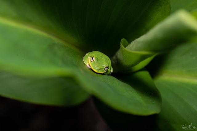 Tree Frog Macro