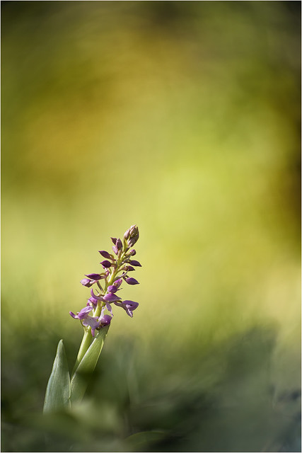 IMG_5719  --- angénieux type 75 --  orchis mascula - web -  -