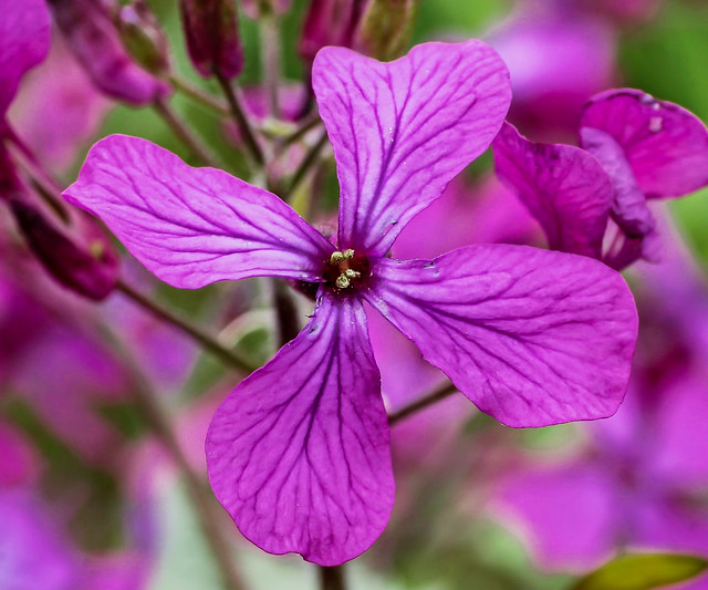 Lunaria annua; Brassicaceae (1)