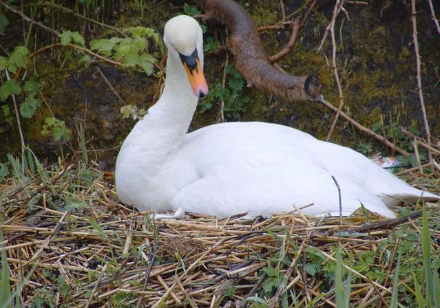 Nesting swan