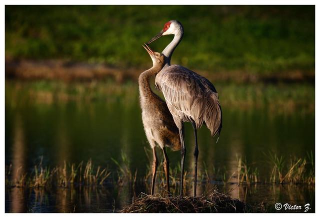 Mom and baby crane, Lake Mary, Florida --708
