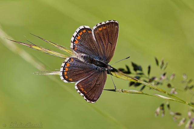 Lycaenidae Polyommatinae  - Brown argus - Argus brun