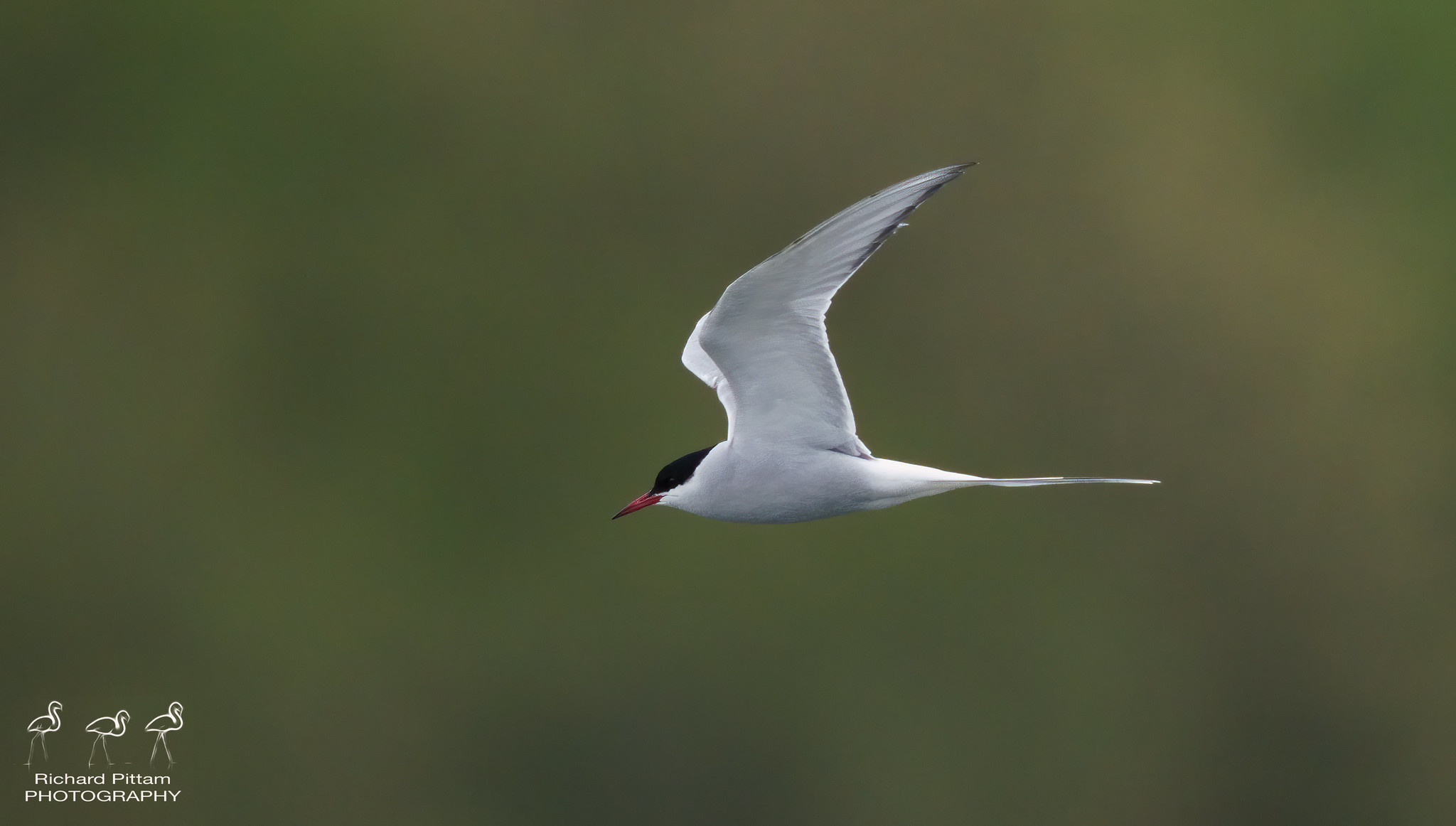 Arctic Tern? [ I'm sure I'll get a few Commons mixed up...]