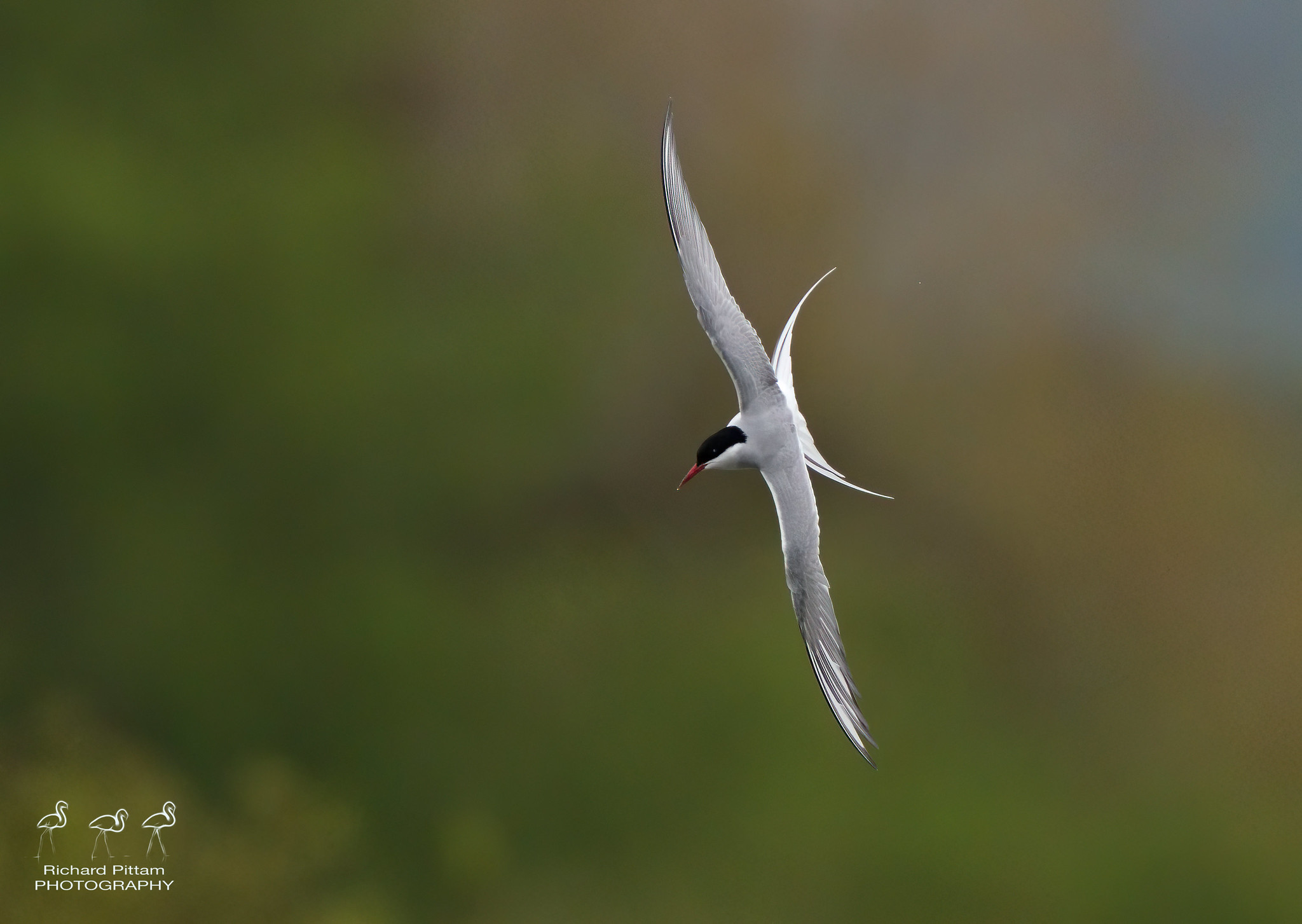 Common Tern? [ I'm sure I'll get a few Commons mixed up...]