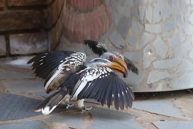 Self Reflection? - Yellow Billed Hornbill
