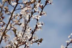 Cherry plum (Prunus cerasifera) // ciruelo cerezo o ciruelo de jardín