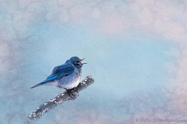 Mountain Bluebird Song