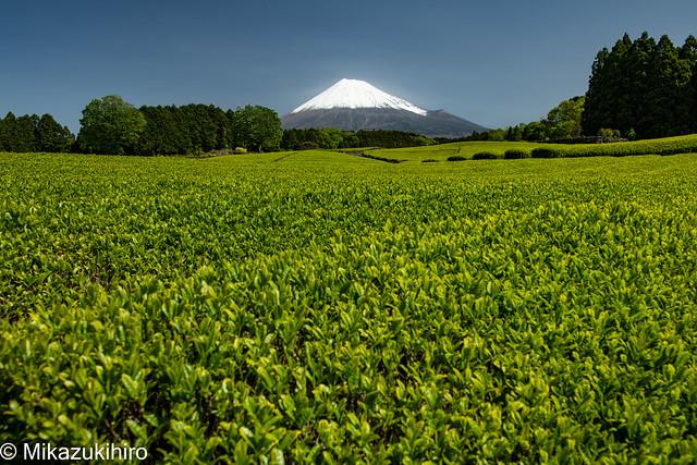 Tea Plantation and Mt Fuji-1