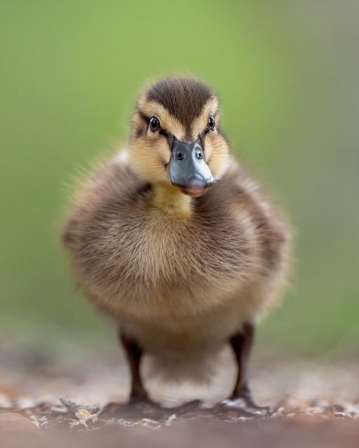 Chick of a Mallard