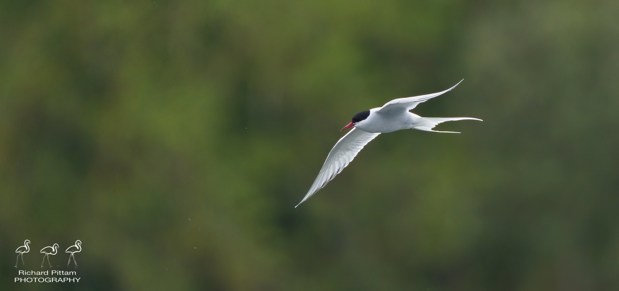 Arctic Tern [ I'm sure I'll get a few Commons mixed up...]