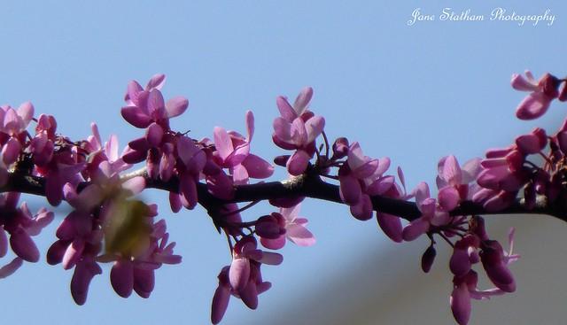 2021: one photo each day. 120/365 Judas tree blossom ~ Cercis siliquastrum.