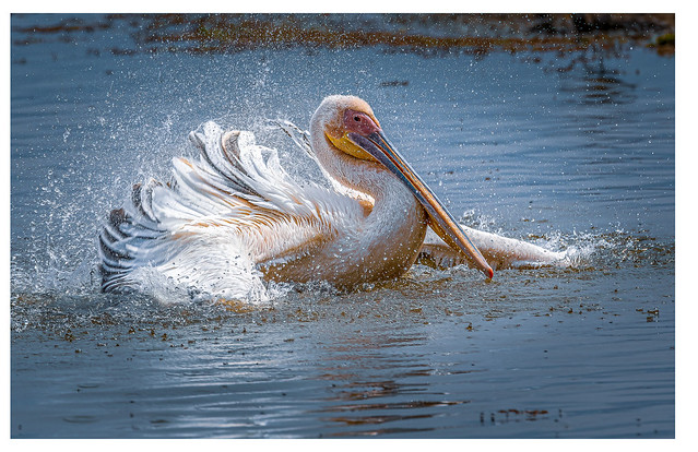 Pelican Having Fun