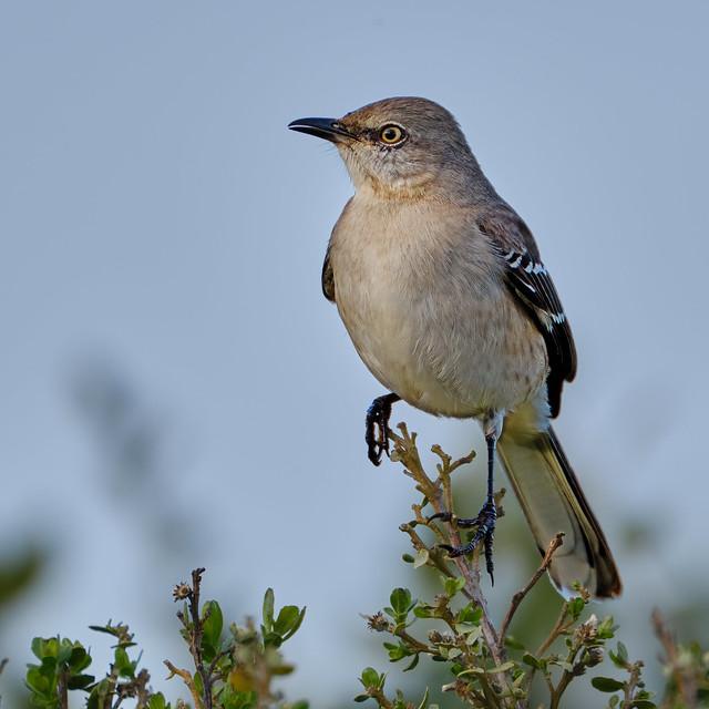Perched: Northern Mockingbird