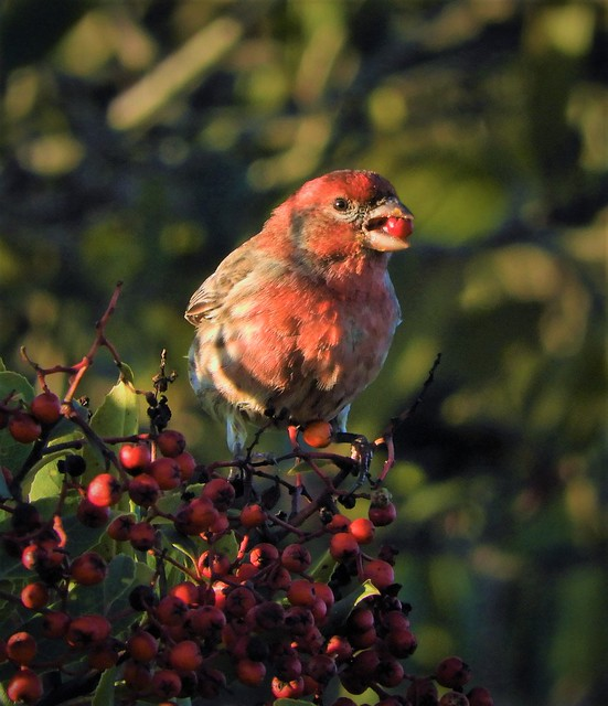 House Finch in a Pyracantha Bush