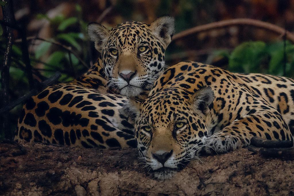 Jaguars - mother and cub