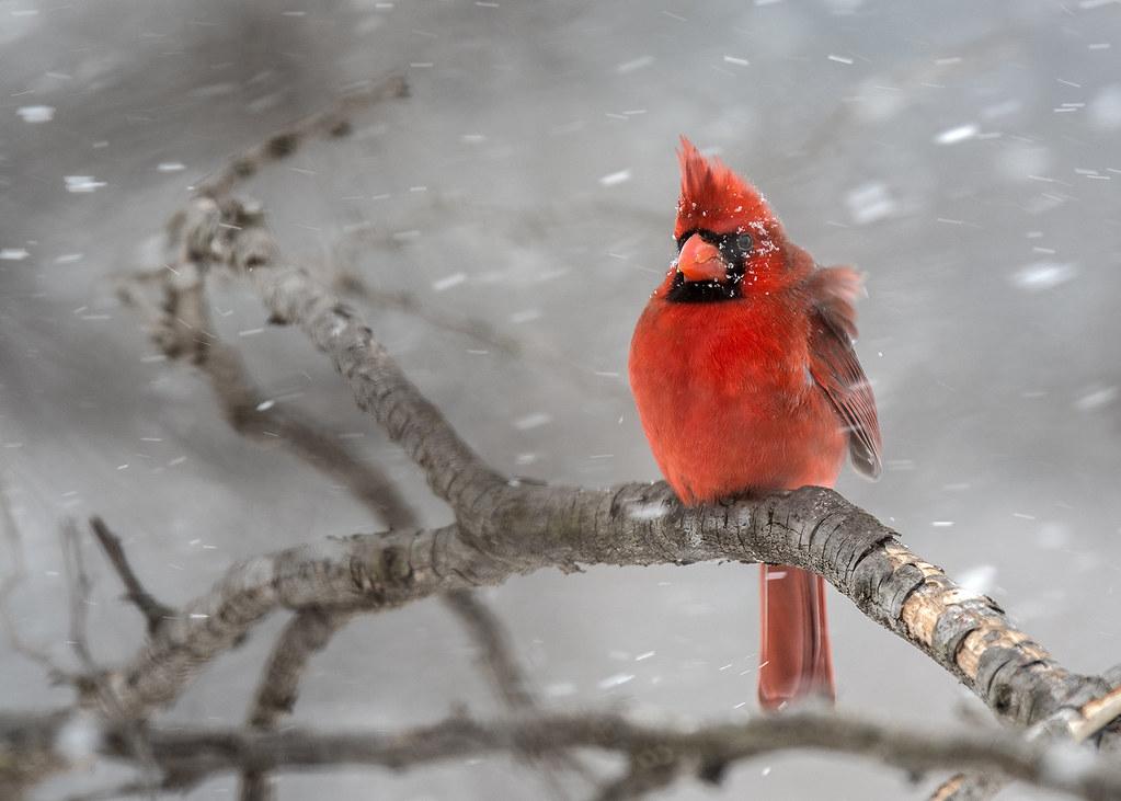 Cardinal Enduring a Blizzard